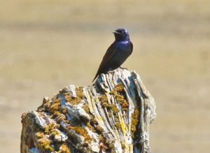 Photo of a male Purple Martin on a stump by Rob Alexander
