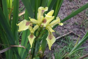 Picture of Yellow-flag Iris, an invasive species to the Maplewood Flats area